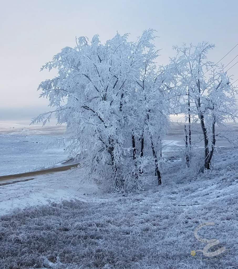 Trees covered in frost